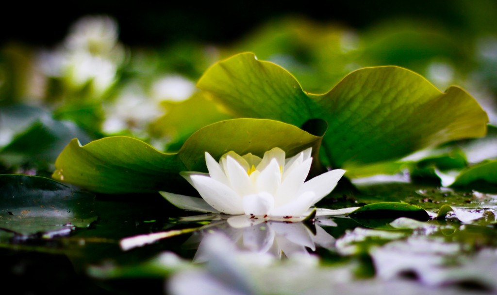 white-lotus-flower-wallpaper-free-jvb7